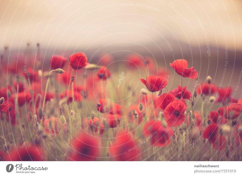 Klatschmohn im Frühling Natur Pflanze Sommer Blume Landschaft rot Wiese Feld Idylle viele Mohn intensiv Mohnfeld Mohnblüte