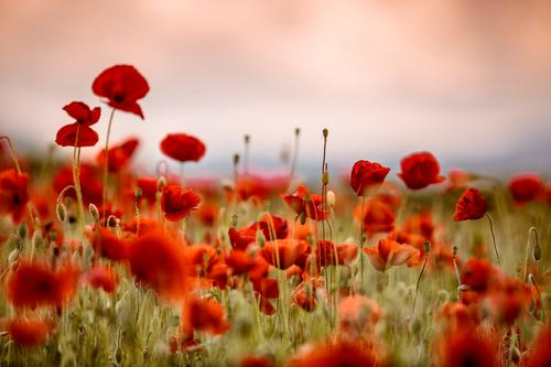 Klatschmohn im Frühling Sommer Blume Landschaft rot Wiese Feld Idylle viele Mohn intensiv Mohnfeld Mohnblüte Rheinland-Pfalz