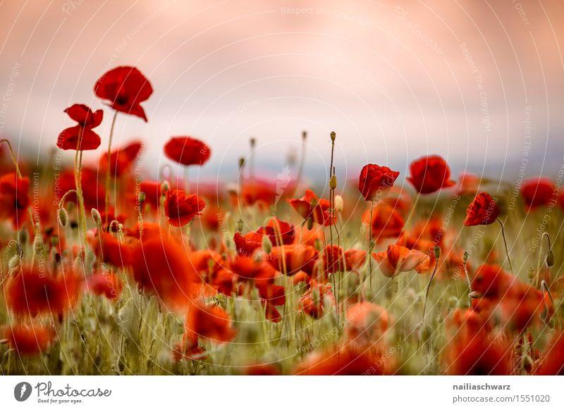 Klatschmohn im Frühling Sommer Landschaft Blume Wiese Feld viele rot Idylle Mohn mohnwiese Mohnfeld intensiv roter mohn papaver kapseln mohnkapseln Mohnblüte