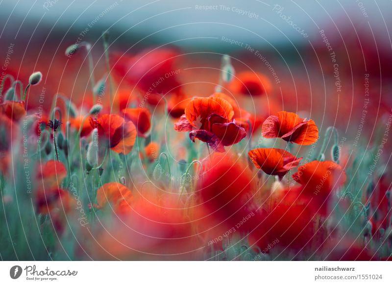 Klatschmohn im Frühling Sommer Natur Landschaft Pflanze Blume Wiese Feld viele rot Romantik friedlich Farbe Idylle Umwelt Mohn mohnwiese Mohnfeld intensiv