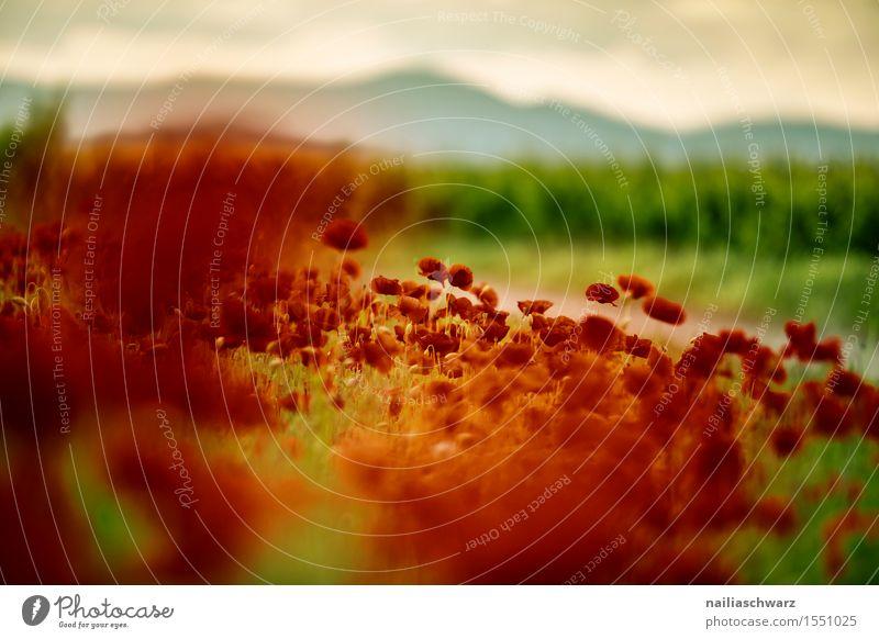 Klatschmohn im Frühling Sommer Landschaft Schönes Wetter Pflanze Blume Blüte Wiese Feld viele rot Idylle Mohn mohnwiese Mohnfeld intensiv roter mohn papaver