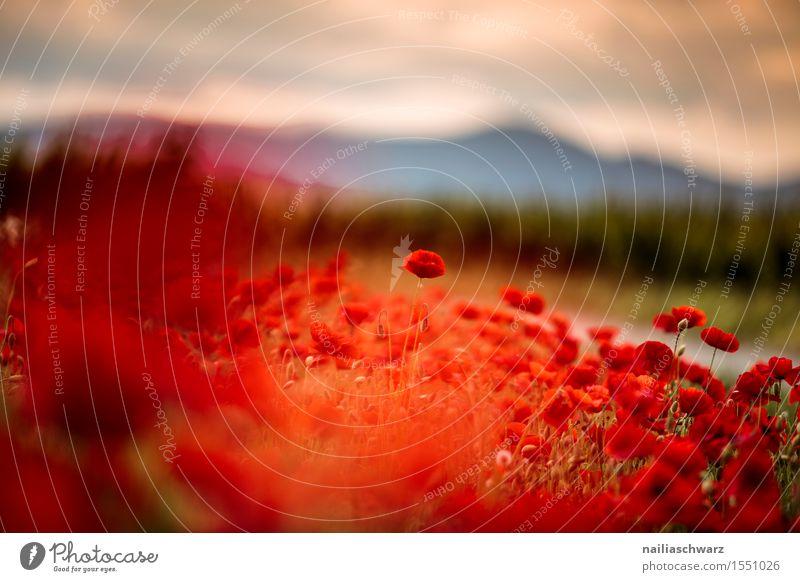 Klatschmohn im Frühling Sommer Landschaft Pflanze Schönes Wetter Blume Wiese Feld viele rot Idylle Mohn mohnwiese Mohnfeld intensiv roter mohn papaver kapseln