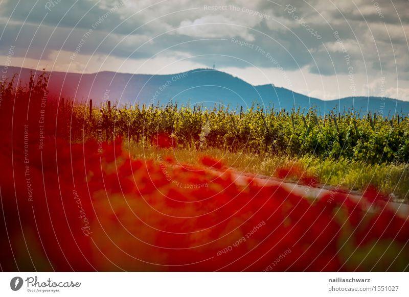 Klatschmohn im Frühling Natur Pflanze Sommer Blume Landschaft rot Wiese Feld Idylle viele Mohn Weinberg intensiv Mohnfeld Mohnblüte