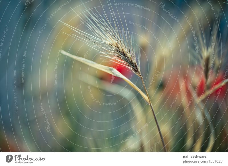 Getreide im Frühling Pflanze Sommer Blume Landschaft rot Wiese Feld Idylle viele Mohn Nutzpflanze intensiv Mohnfeld Mohnblüte Klatschmohn Rheinland-Pfalz