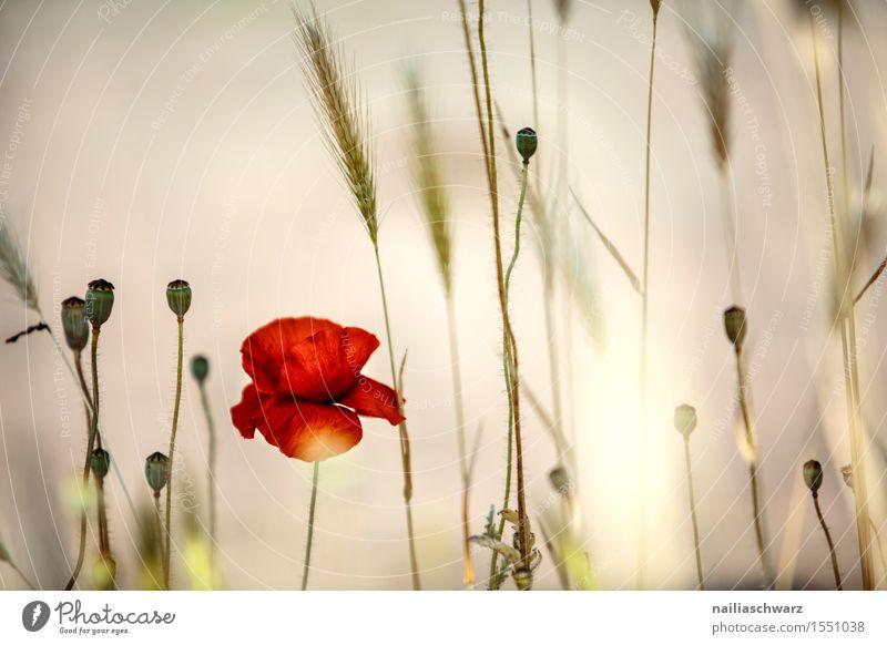 Klatschmohn im Frühling Natur Sommer Blume Landschaft rot Blüte Wiese Feld Idylle viele Mohn intensiv Mohnfeld Mohnblüte