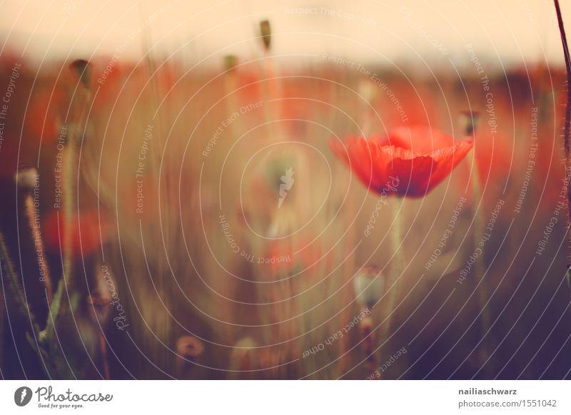Klatschmohn im Frühling Sommer Landschaft Wiese Feld viele rot Idylle Mohn Mohnfeld intensiv Mohnblüte Rheinland-Pfalz Farbfoto Menschenleer Tag