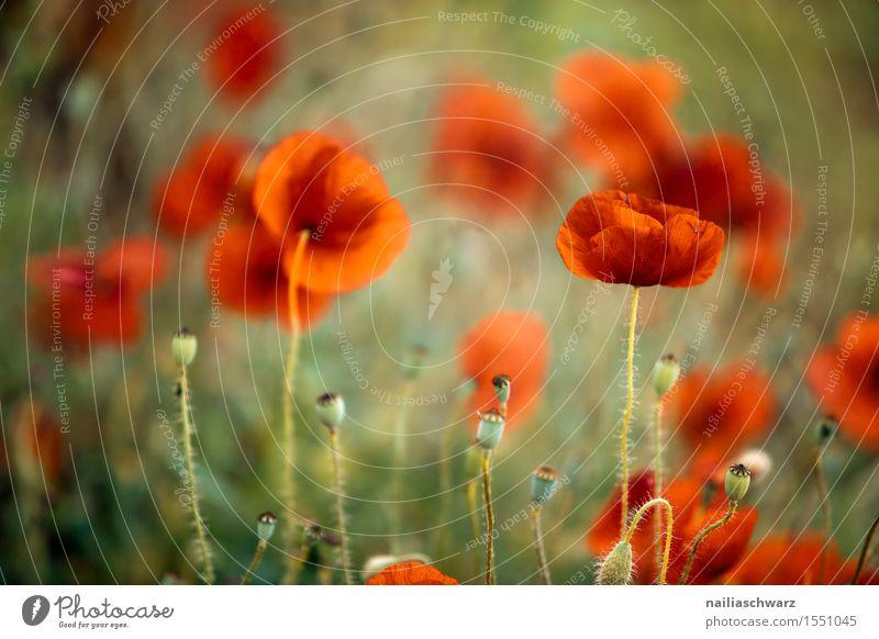 Klatschmohn im Frühling Sommer Landschaft Pflanze Schönes Wetter Blume Wiese Feld viele rot Idylle Mohn Mohnfeld intensiv Mohnblüte Rheinland-Pfalz Farbfoto