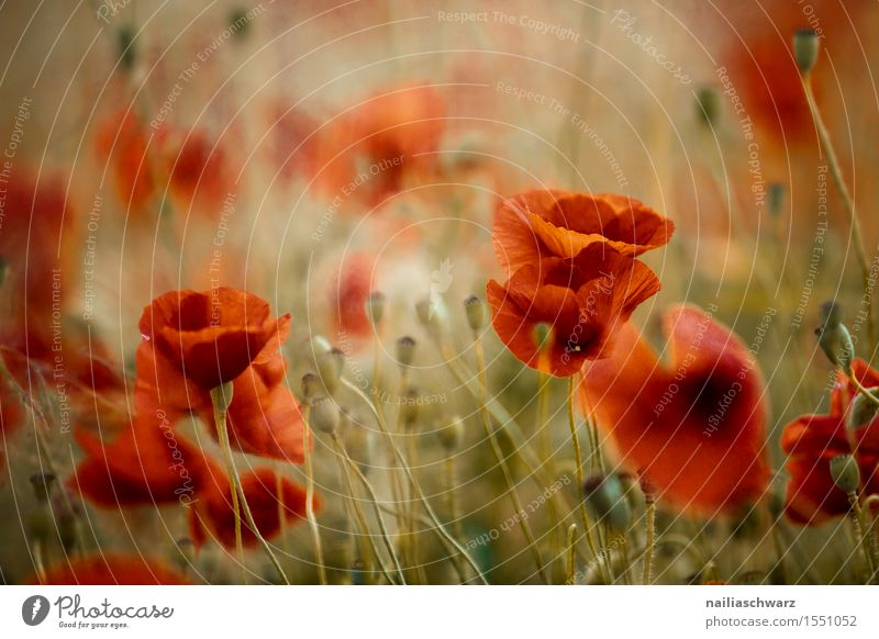 Klatschmohn im Frühling Sommer Landschaft Wiese Feld viele rot Idylle Mohn Mohnfeld intensiv Mohnblüte Rheinland-Pfalz Farbfoto Außenaufnahme Menschenleer Tag