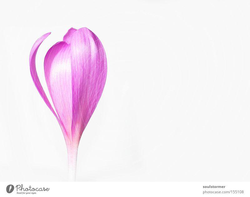 Stock... ...Blume [2] Natur weiß Einsamkeit Herbst Blüte rosa Hintergrundbild Freisteller Frieden Textfreiraum Herbstzeitlose