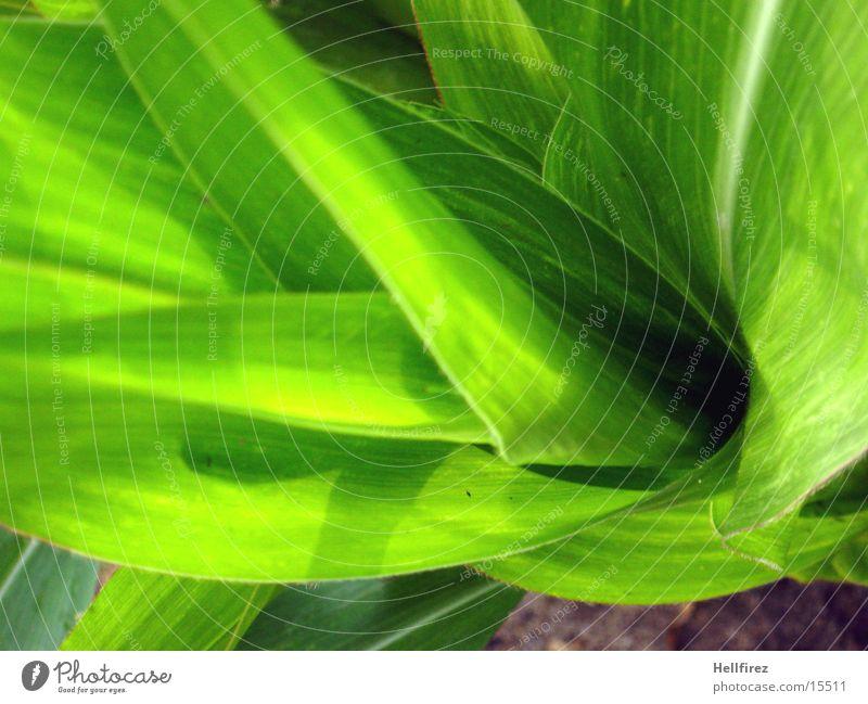 Bizarre Formen [6] Blatt grün grell Silhouette Mais Profil Kontrast Vergröberung