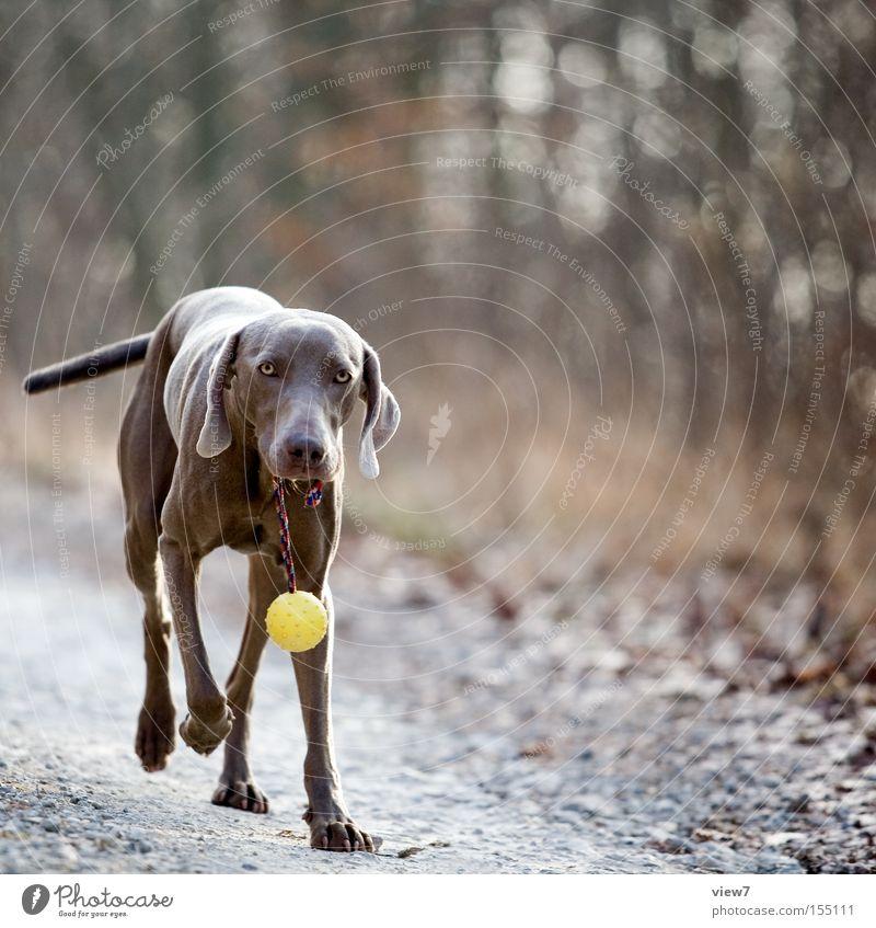 Der Hund auf den ich steh ... Freude Wald Herbst Wege & Pfade Nase laufen Suche Ball Fell Geruch Säugetier Stolz tragen anhaben Gefühle