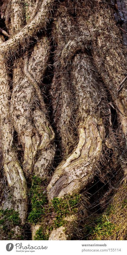 Seid umschlungen Garten Park Klettern Urwald Baumstamm Moos durcheinander Baumrinde Wurzel Efeu kleben Schlaufe Kletterpflanzen eigenwillig Ringen Liane