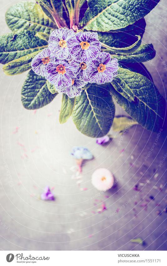 Gestreifte Primel Blumen im Blumentopf Stil Design Garten Innenarchitektur Dekoration & Verzierung Tisch Natur Pflanze Blatt Blüte Romantik Retro-Farben