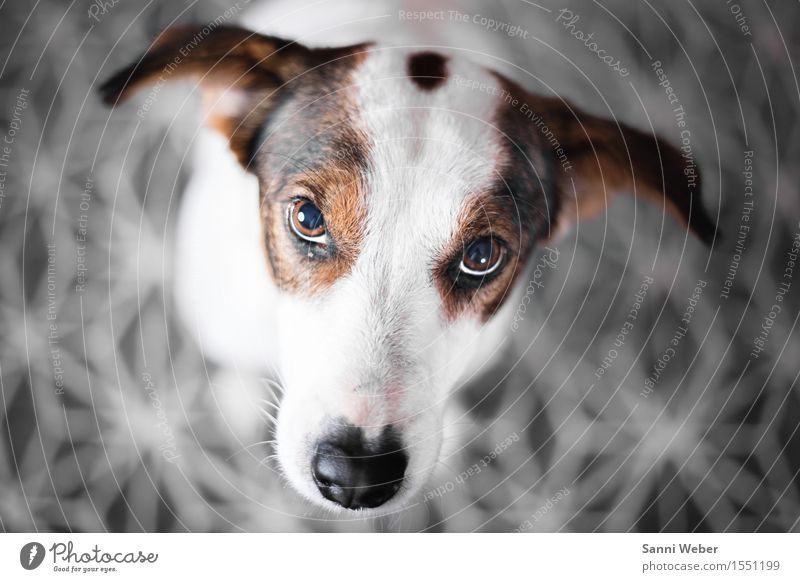 best mate Tier Haustier Hund Tiergesicht Fell Pfote 1 beobachten Kommunizieren niedlich braun grau schwarz weiß Gefühle Lebensfreude Vertrauen Schutz