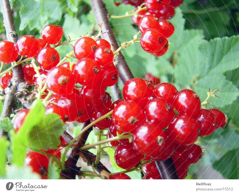 Beerenzeit [3] rot Blatt Stengel Beeren Makroaufnahme