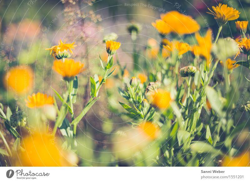 sommerliche Blüte Natur Pflanze Tier Erde Sonnenlicht Sommer Schönes Wetter Blume Grünpflanze Garten Blühend Duft gelb grün violett rosa elegant Farbfoto