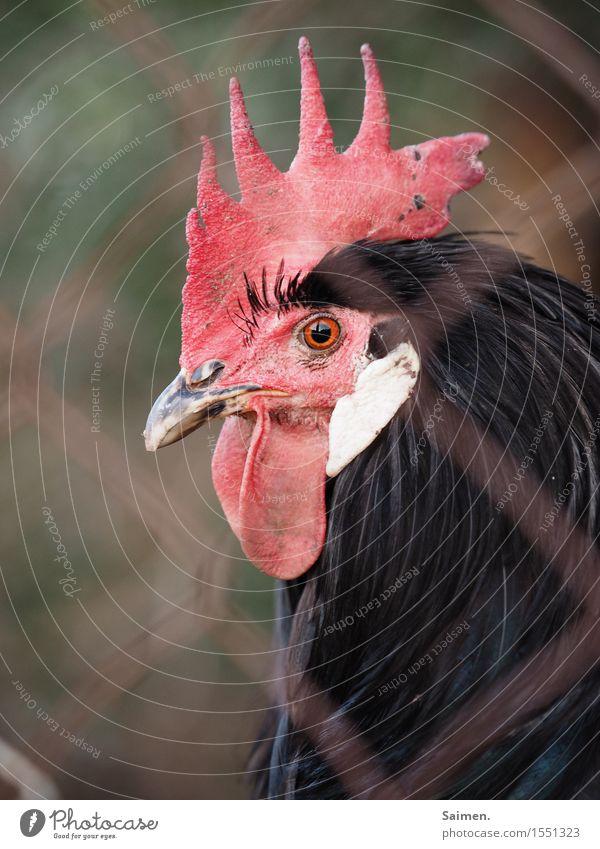 Im Hühnerknast Tier Nutztier Tiergesicht 1 Blick Hahn gefangen Hahnenkamm Schnabel Feder schwarz rot Farbfoto Gedeckte Farben Außenaufnahme Nahaufnahme