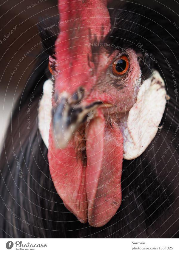 Das Auge des Wächters Natur Tier Nutztier Tiergesicht 1 Blick achtsam Wachsamkeit Hahn Feder Schnabel Hahnenkamm Farbfoto Außenaufnahme Nahaufnahme