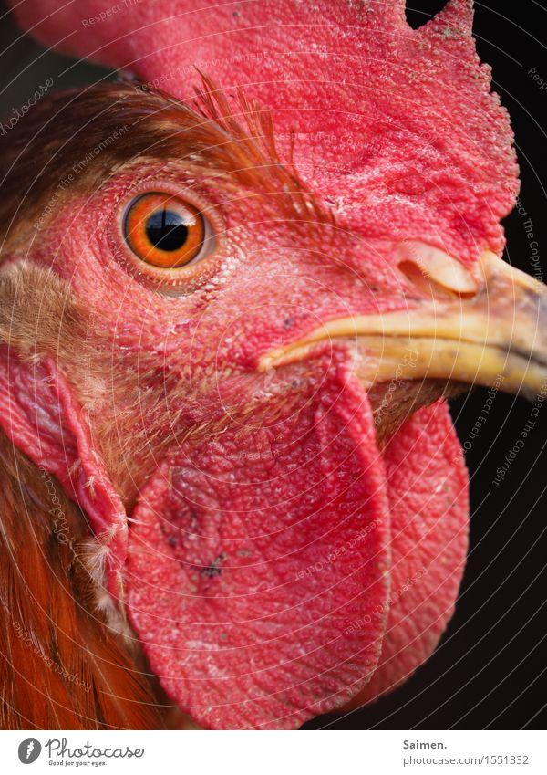 Hühnerauge Tier Nutztier Tiergesicht 1 rot Haushuhn Auge Schnabel Feder Pupille Farbfoto mehrfarbig Außenaufnahme Nahaufnahme Tag Vogelperspektive Tierporträt