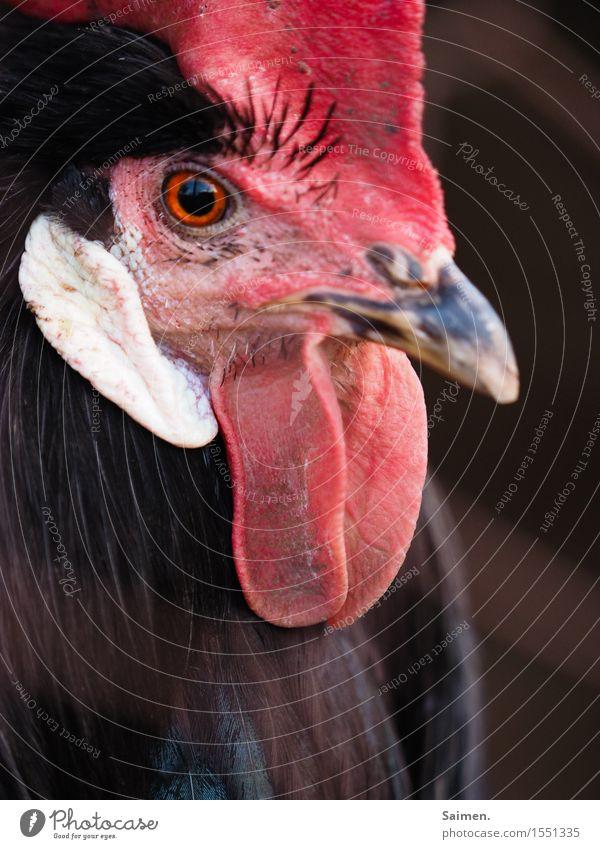 The Chief Natur rot Tier schwarz Auge natürlich elegant ästhetisch Feder beobachten Macht Schutz Wachsamkeit Fürsorge selbstbewußt Schnabel