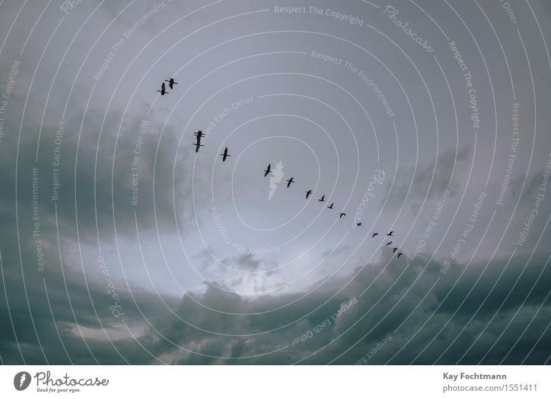° Natur Tier Luft Himmel Wolken Gewitterwolken Sonnenlicht Sommer Wetter schlechtes Wetter Wind Wildtier Vogel Kormoran Schwarm Bewegung Erholung fliegen