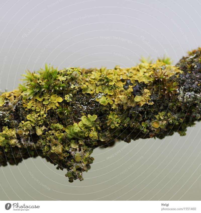 Flechten und Moose... Umwelt Natur Pflanze Frühling Nebel Baum Ast Wald Wachstum authentisch einzigartig klein natürlich braun gelb grau grün Senior bizarr