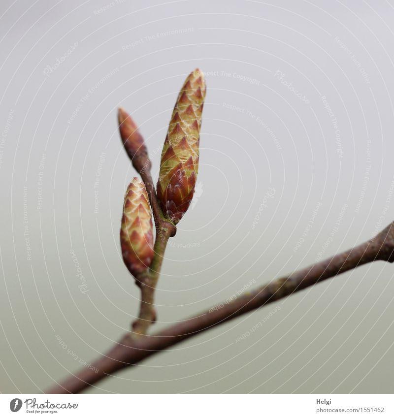 es sprießt... Umwelt Natur Pflanze Frühling Nebel Baum Wildpflanze Zweig Blattknospe Wald Wachstum ästhetisch frisch einzigartig klein natürlich braun gelb grau