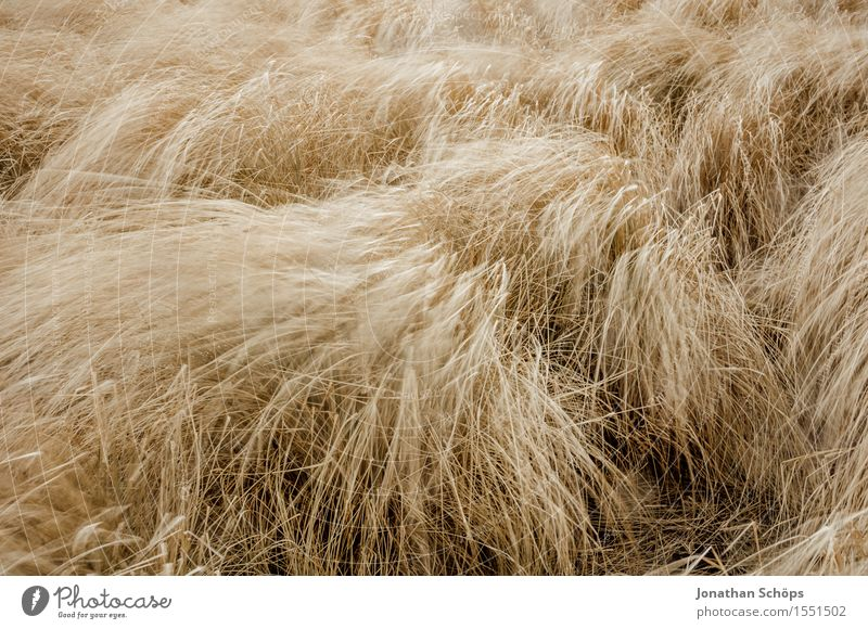 verrücktes Feld I Natur Pflanze Landschaft Umwelt gelb Bewegung Gras braun wild Wetter Luft gold Wind hoch Geschwindigkeit