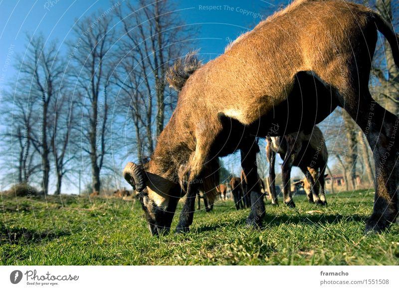 Kameruner Ausflug Natur Landschaft Pflanze Tier Himmel Wolkenloser Himmel Frühling Schönes Wetter Gras Wiese Nutztier Fell Schaf Tiergruppe Herde Fressen