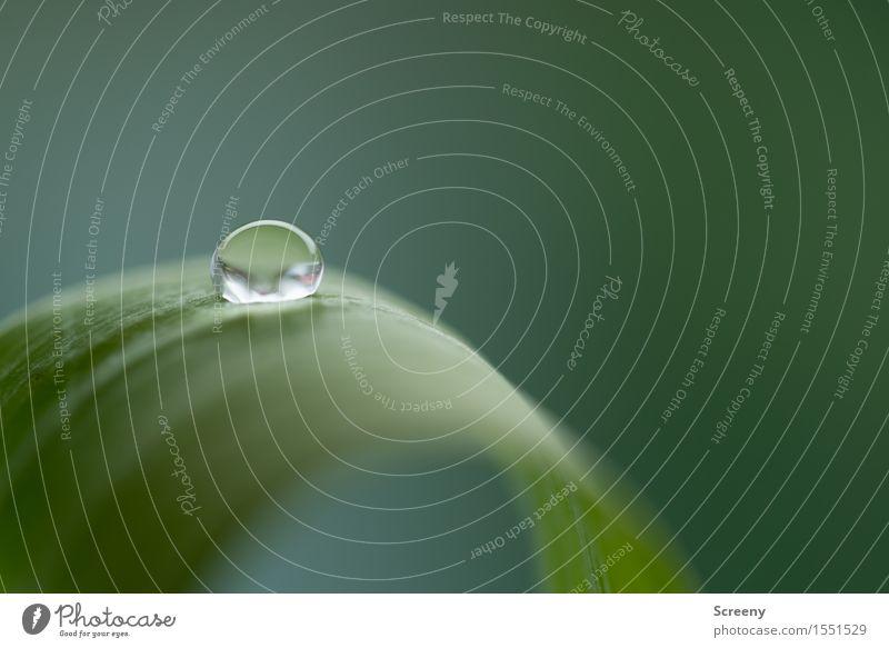 Spannung Wasser Wassertropfen Pflanze Blatt klein nass grün frisch Oberflächenspannung Farbfoto Makroaufnahme Menschenleer Textfreiraum rechts Textfreiraum oben