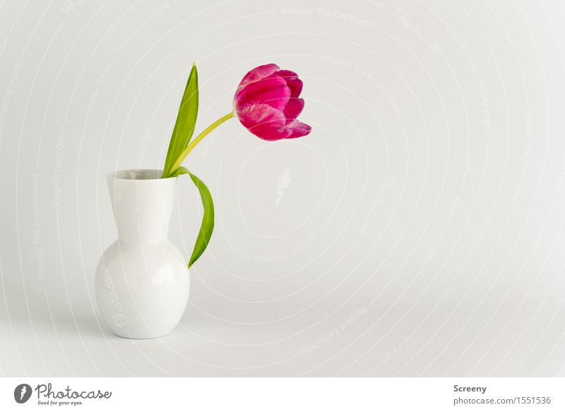 Frühling to go #3 Natur Pflanze grün weiß Blume Blatt Blüte Frühling rosa Tulpe Vase