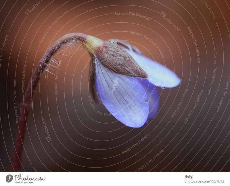 Leberblümchen Umwelt Natur Pflanze Frühling Blume Blüte Wildpflanze Wald Blühend Wachstum ästhetisch frisch schön klein natürlich braun violett Leben nass