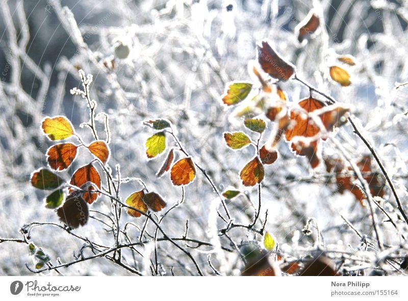 Im Winter || Farbfoto mehrfarbig Außenaufnahme Morgen Schnee Lampe Umwelt Natur Pflanze Klima Wetter Eis Frost Sträucher Blatt glänzend kalt weiß ruhig
