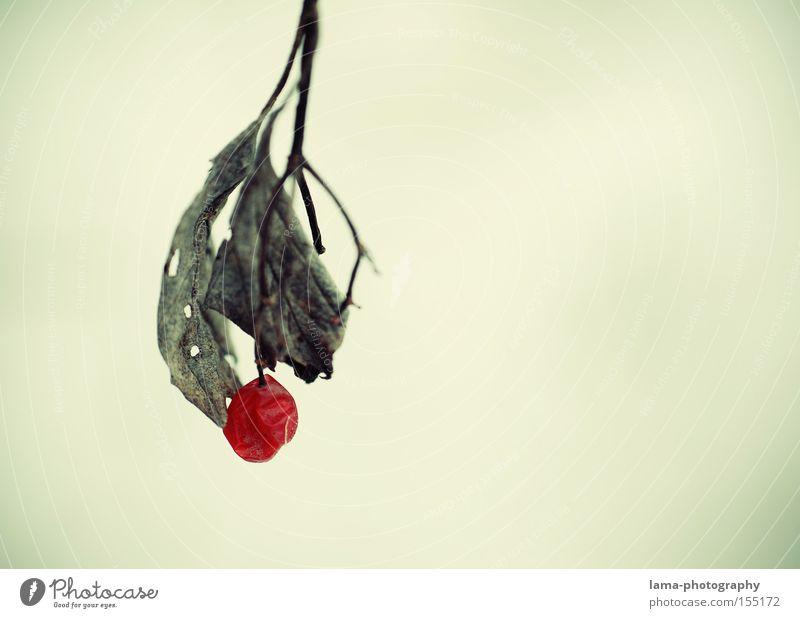 Eine Perle der Natur Vogelbeeren Beeren Weintrauben Blatt Ast filigran Winter Herbst rot Einsamkeit welk Eis Schnee Frucht Makroaufnahme Nahaufnahme träubchen
