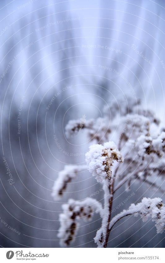 Winterzauber... blau Winter Schnee Beleuchtung Eis Frost Ast Blütenknospen Raureif