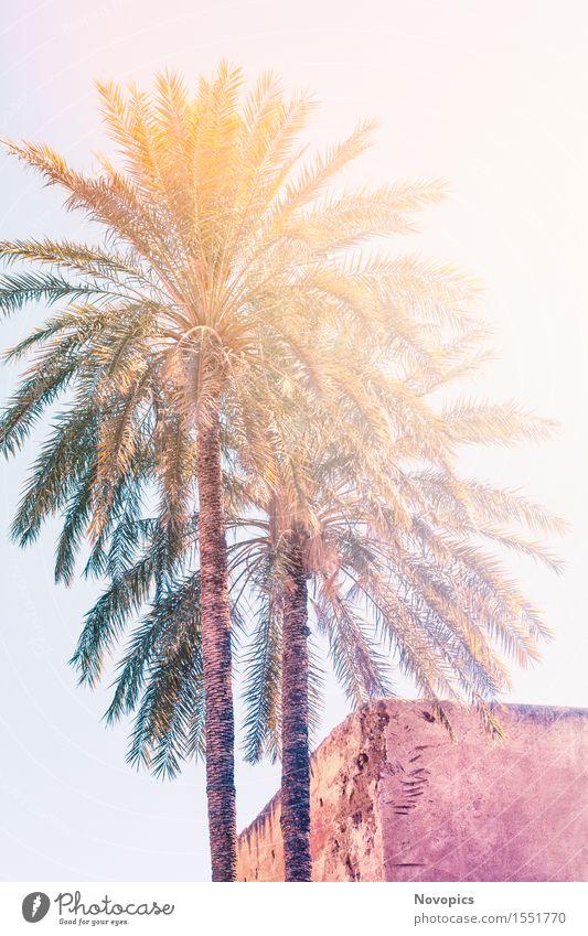 two palms in Marrakech Sonne Haus Natur Baum Architektur blau braun gelb grün Palme Palmengewaechse Arecaceae Lehm Sonnenschein ornage Marokko Marrakesch