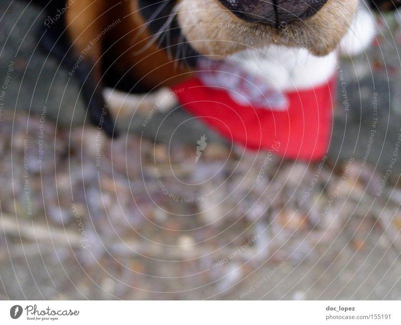 Obey the Basset Hund Tier Halstuch Schnauze Perspektive Anschnitt Momentaufnahme Säugetier Basset Hound Tiefenunschärfe treuer Freund des Menschen