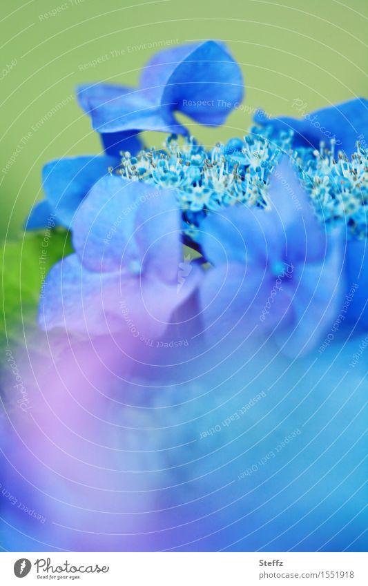 blue impression Natur Pflanze blau schön Sommer Farbe Blume Blüte Garten Blühend Blütenblatt Hortensie blau-grün Blauton Blauverlauf Hortensienblüte
