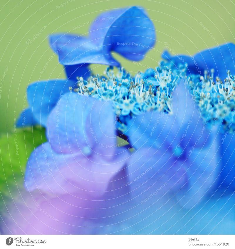 Gartenhortensie Hortensie Hortensienblüte blaue Hortensie Hydrangea blühende Hortensie romantische Blüte blühende Gartenblume blaue Blüte Zierpflanze