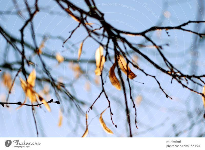 Herbstreste Baum blau Winter Blatt Herbst Landschaft Ast