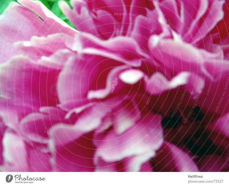 Blütenpracht Blume Frühling rosa
