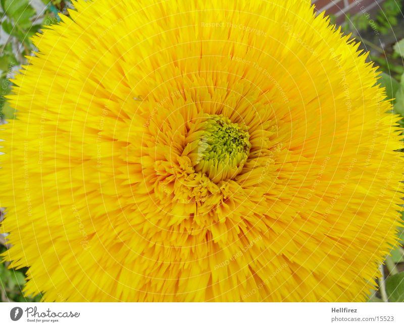 Das Erwachen Blume gelb Frühling Blühend Makroaufnahme
