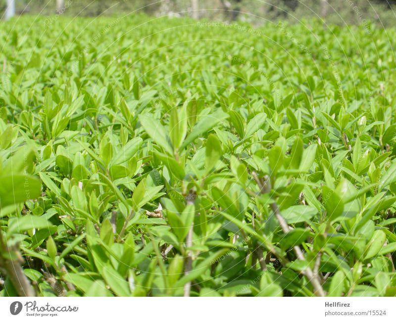 Neue Ansichten... grün Blatt Frühling Stengel Blütenknospen Hecke