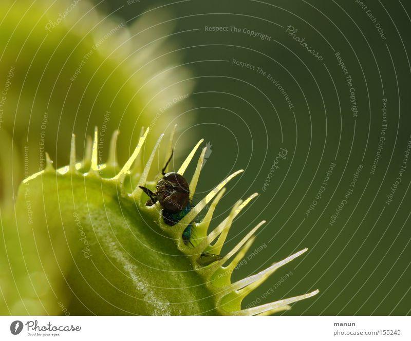 Fette Beute Venusfliegenfalle gefährlich grün Tod Vergänglichkeit Pflanze Sonnentaugewächse Lockstoff Stachel bedrohlich tükisch exotisch