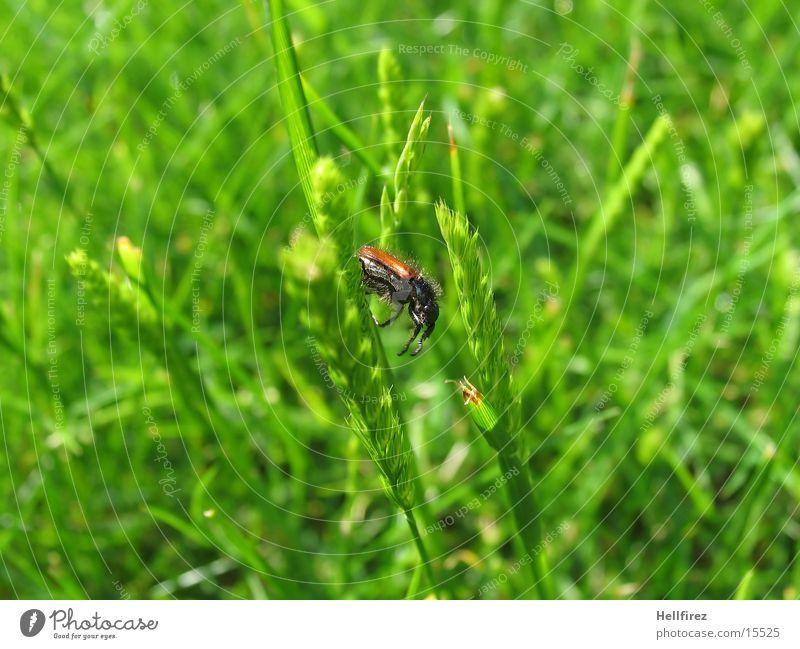 Bug Gras Halm Schiffsbug Käfer Detailaufnahme Makroaufnahme