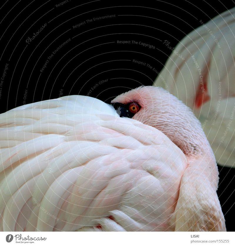 flamingo vor flamingo weiß ruhig Tier Vogel rosa schlafen Pause Feder Flamingo