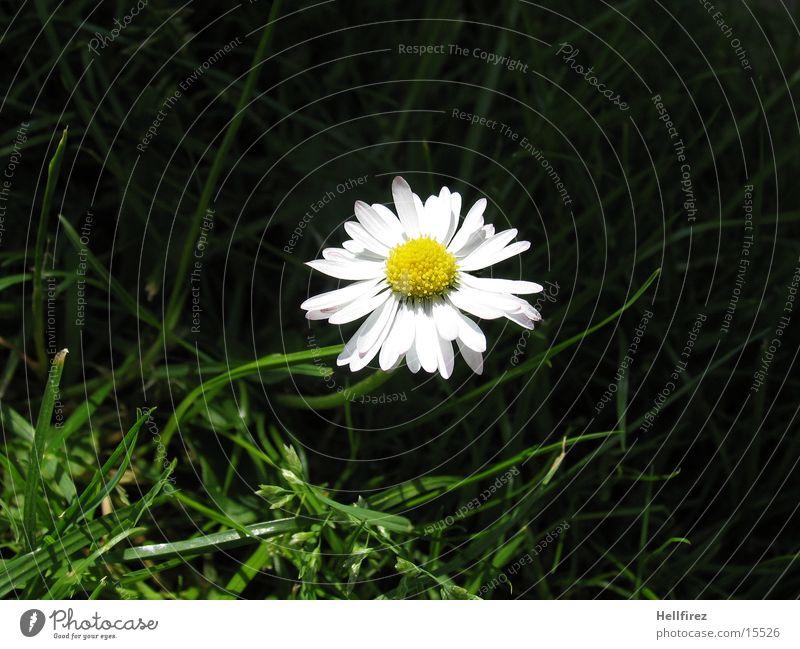 Gänseblümchen Natur weiß gelb dunkel Gras Halm