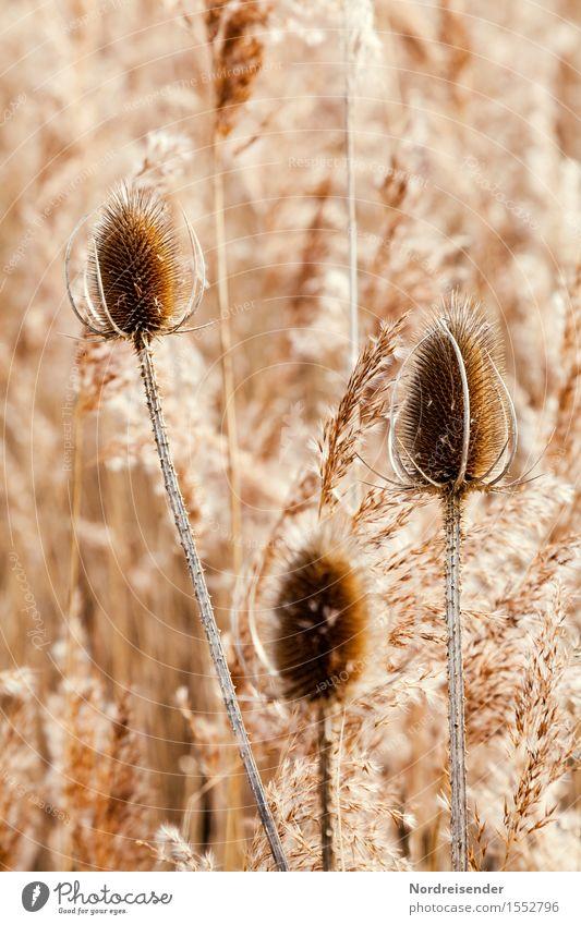 Monochrom Natur Landschaft Pflanze Herbst Winter Gras Wildpflanze Seeufer Teich verblüht dehydrieren ästhetisch Freundlichkeit Fröhlichkeit natürlich braun