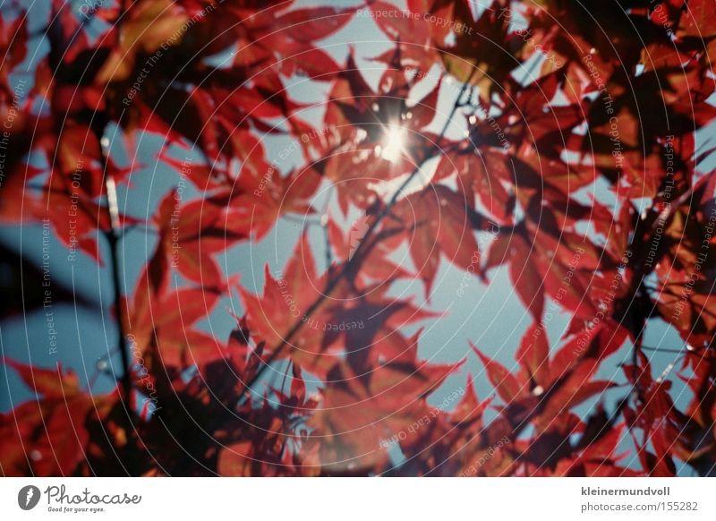 Lichtblick Himmel Sonne rot Sommer Blatt Ahorn Lomografie