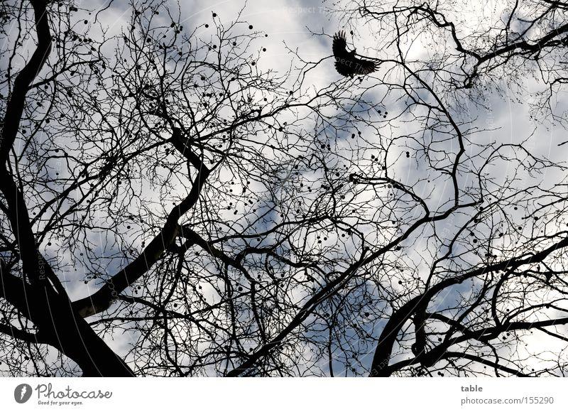 FREI SEIN Laubbaum Vogel Freiheit Ast Zweig Himmel Wolken Winter Rabenvögel Freude Platane ahornblättrige Platane Platanengewächse Parkbaum Strassenbaum fliegen